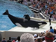 Orca Shamu